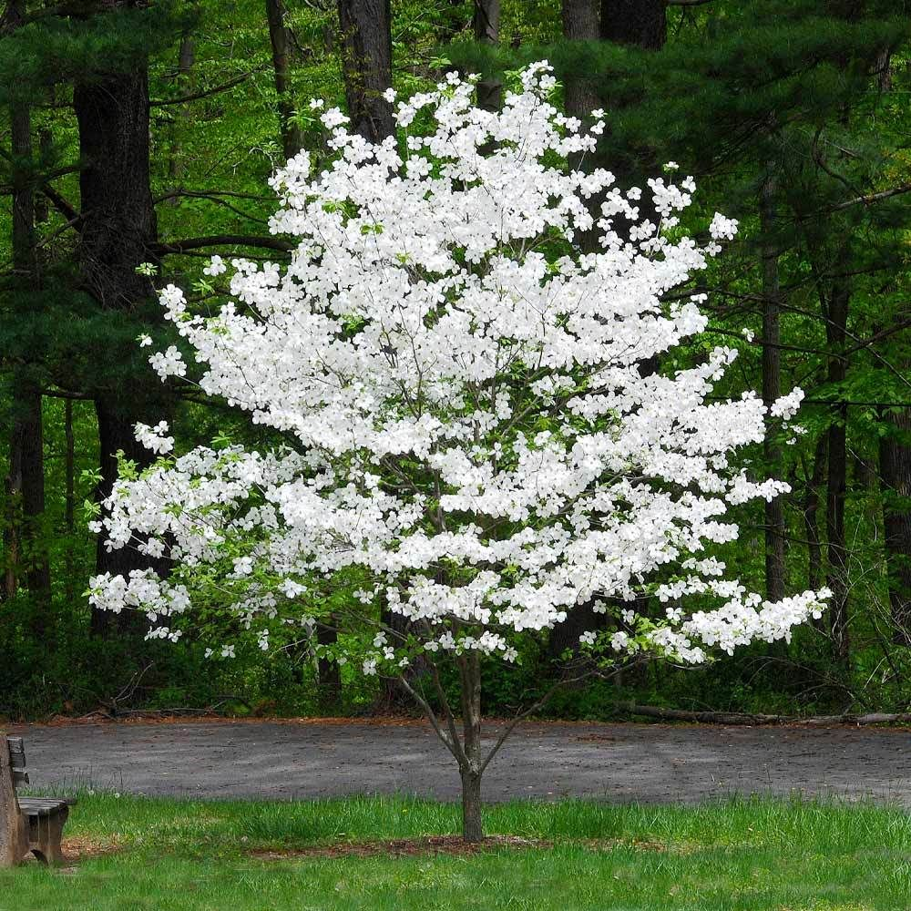 Cloud 9 Dogwood Tree In 2020 Trees To Plant Trees For Front Yard White Flowering Trees