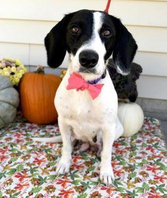 Morton Grove, IL - Beagle. Meet Olivia a Pet for Adoption. #mortongrove