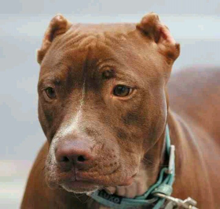 Chocolate Red Pit Aggressive Dog Breeds Aggressive Dog Best