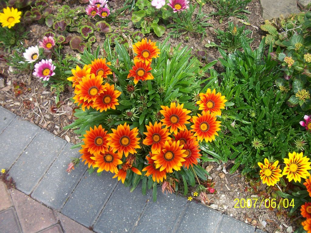 Looking For Alaska Flower: Tips For Growing Gazanias: Information About Gazania Plant