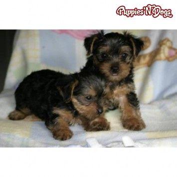Yorkshire Terrier Puppies Puppies Yorkshire Terrier Puppies
