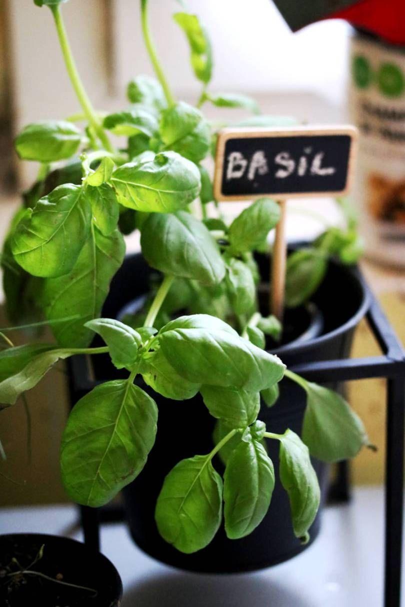 Comment Bien Faire Pousser Du Basilic jardiner et cultiver des herbes aromatiques : 8 conseils