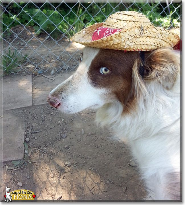 Read Fiona's story the Border Collie from Potter Valley, California and see her photos at Dog of the Day http://DogoftheDay.com/archive/2013/September/03.html .