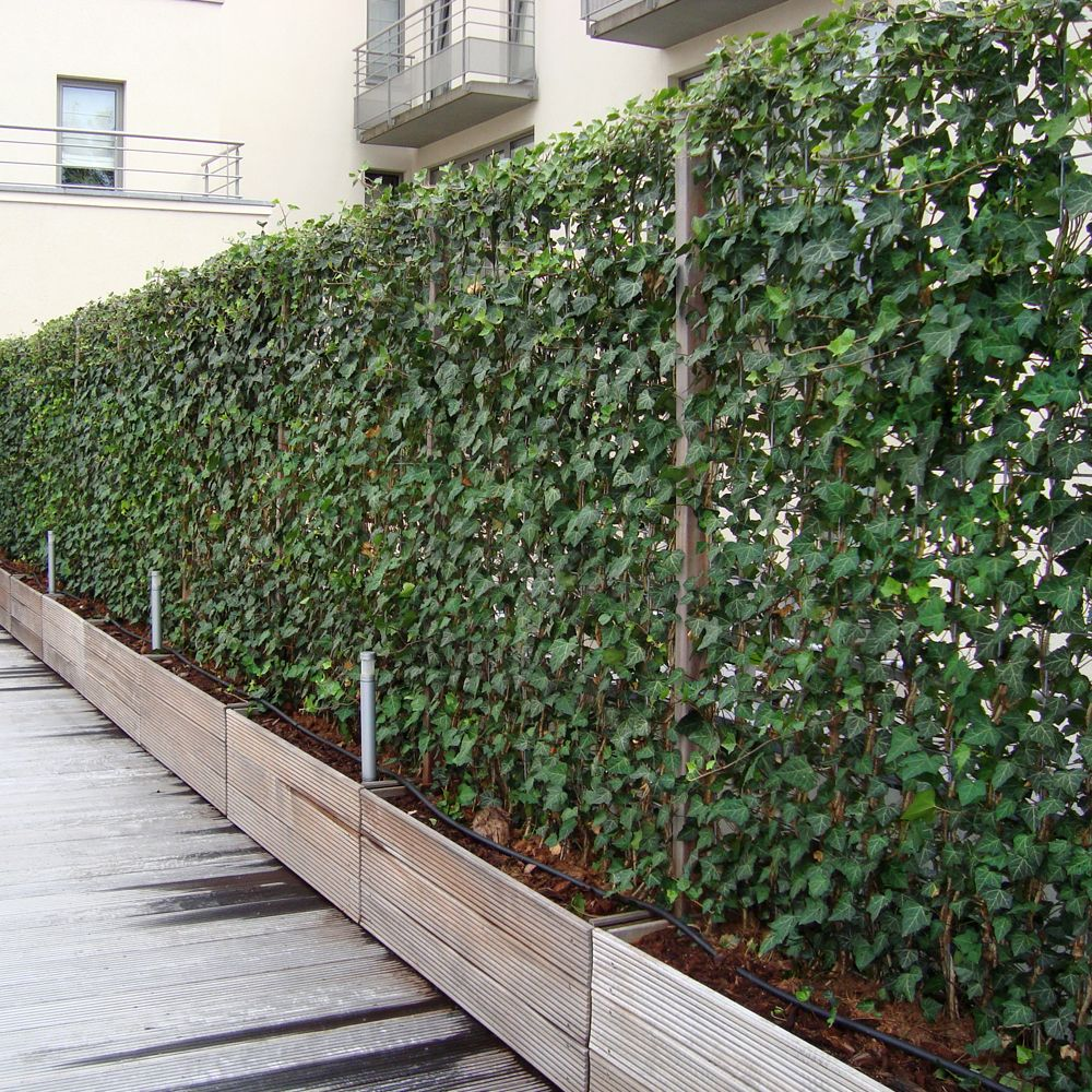 An option for climbing plants is to use the evergreen English ivy. These  living fences from 'Impact Plants' give you year round privacy screens with  an ...