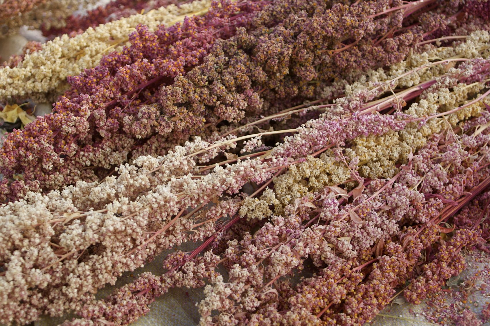 What Is Quinoa: Learn About Quinoa Plant Benefits And Care   New ...