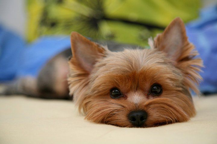 10 Reasons Why Yorkies Are So Dang Awesome Yorkie