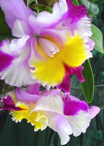Orchid Of Ecuador Orchid Flower Amazing Flowers Unusual Flowers