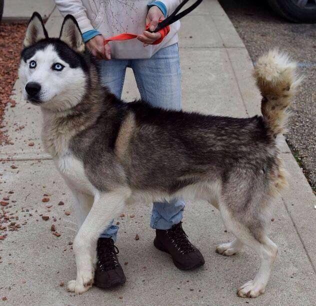 Founddog 12 28 14 Athens Oh Siberianhusky Male Athens Ohio