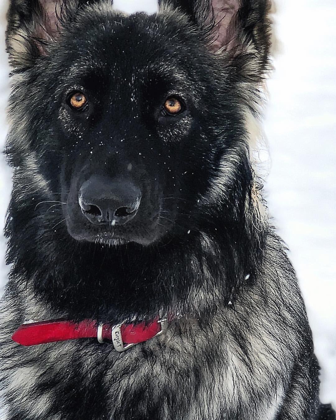 Shiloh shepherd puppies for sale california