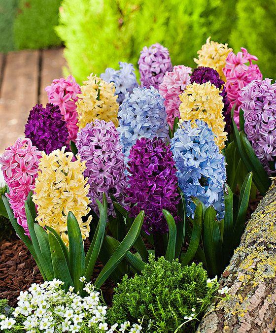 Jacinthes en mélange   Belles fleurs, Planter des fleurs