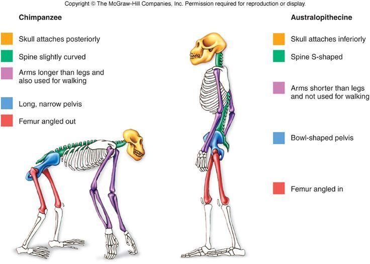 Bipedal Stance Skull Shape Uc5d0  Ub300 Ud55c  Uc774 Ubbf8 Uc9c0  Uac80 Uc0c9 Uacb0 Uacfc