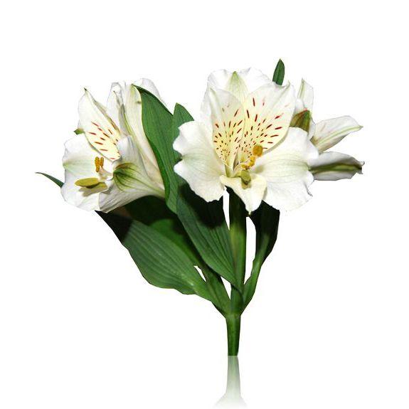 Astromelias blancas
