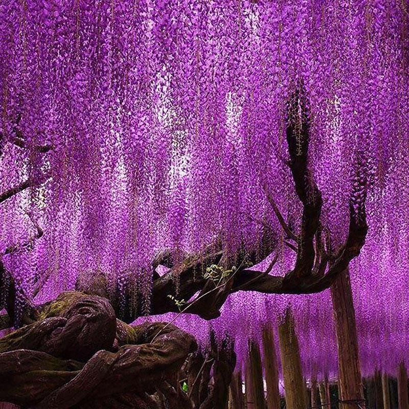 Egrow 15pcs Bag Rare Wisteria Flower Seeds Purple Wisteria Sinensis Sweet Seeds For Home Garden Plants Sims Flower Seeds Gardening From Home And Garden On Bangg Wisteria Tree Purple Wisteria Wisteria Plant