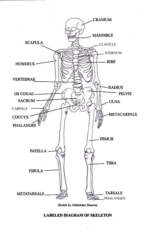 Labeled Skeletal System Diagram | School | Pinterest | Anatomisch