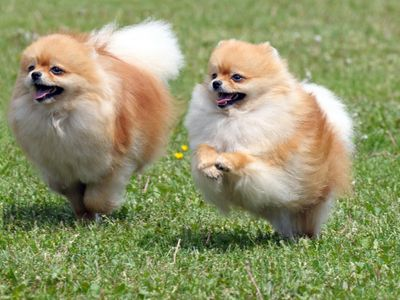 7 Things About the Pomeranian Temperament You Must Know