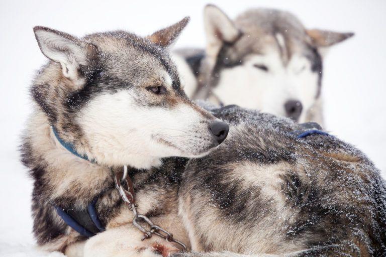 Best dog food for siberian huskies husky best dog food