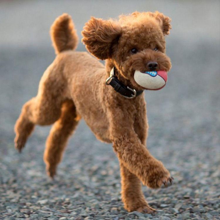 Toy Poodle in 2020 | Poodle dog, Dog varieties, Toy poodle