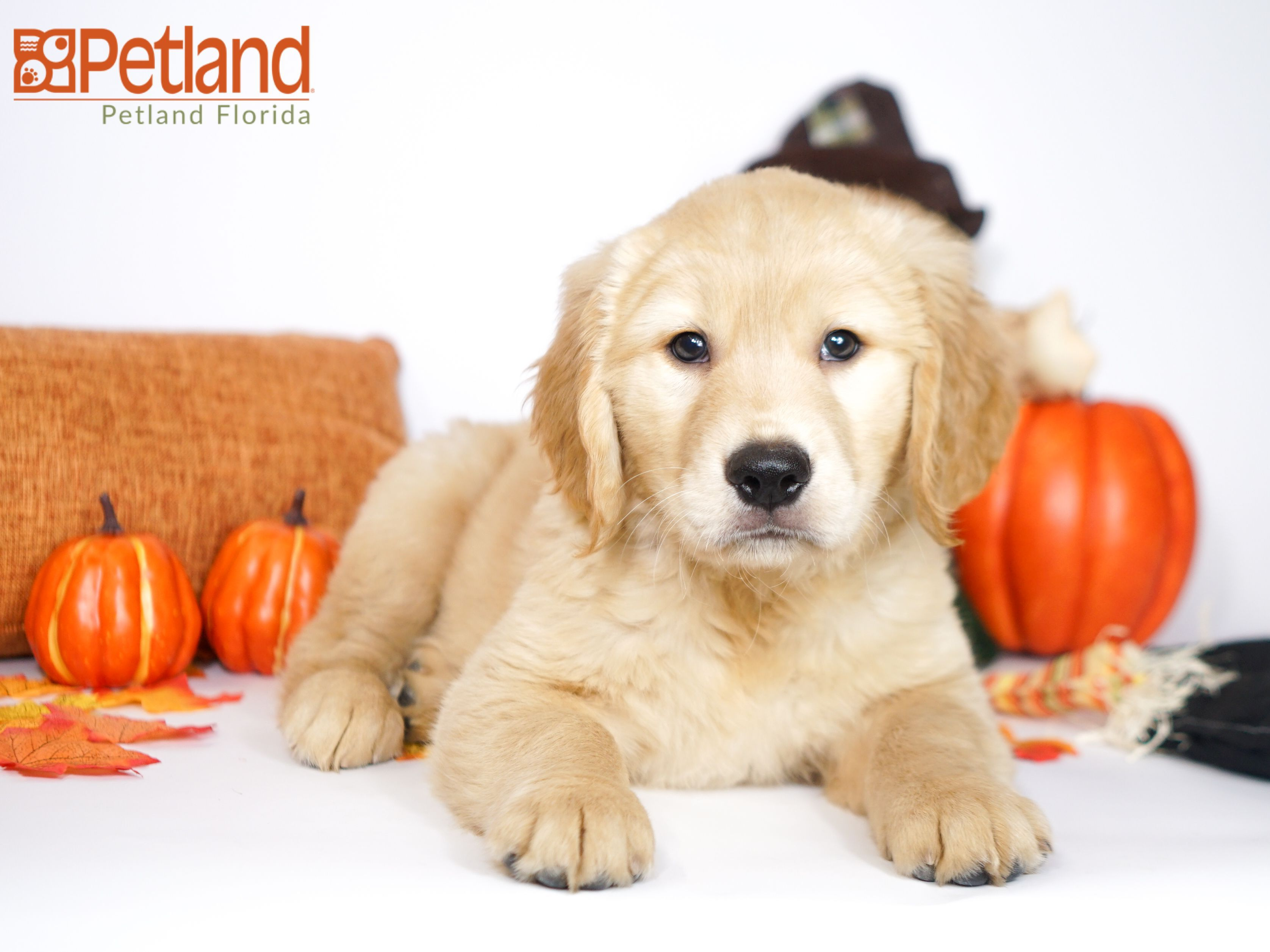 Puppies For Sale Dogs Golden Retriever Puppies Dog Lovers