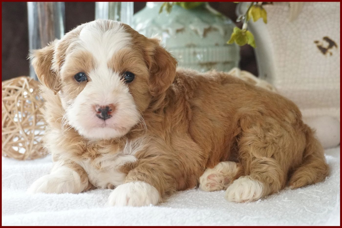 River View Puppies Puppies for Sale, For Sale, Havapoo