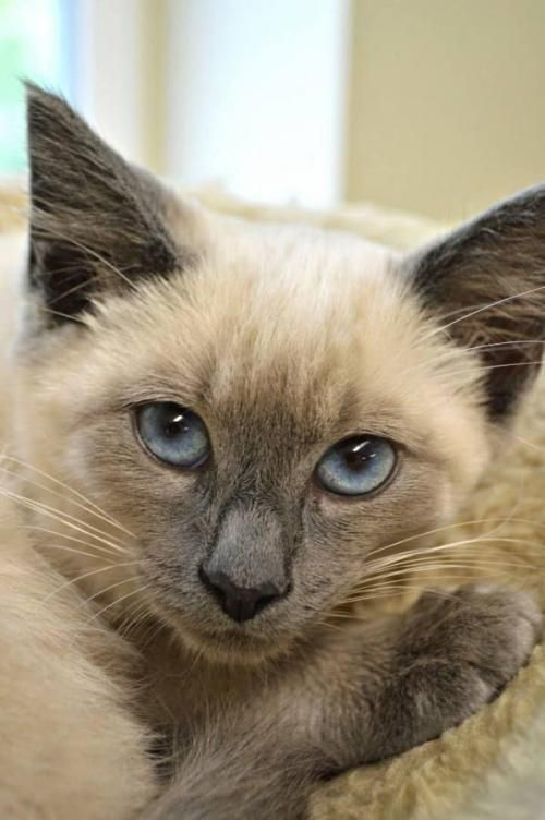 Adopt Bond On Petfinder Siamese Cats Cats Short Hair Cats