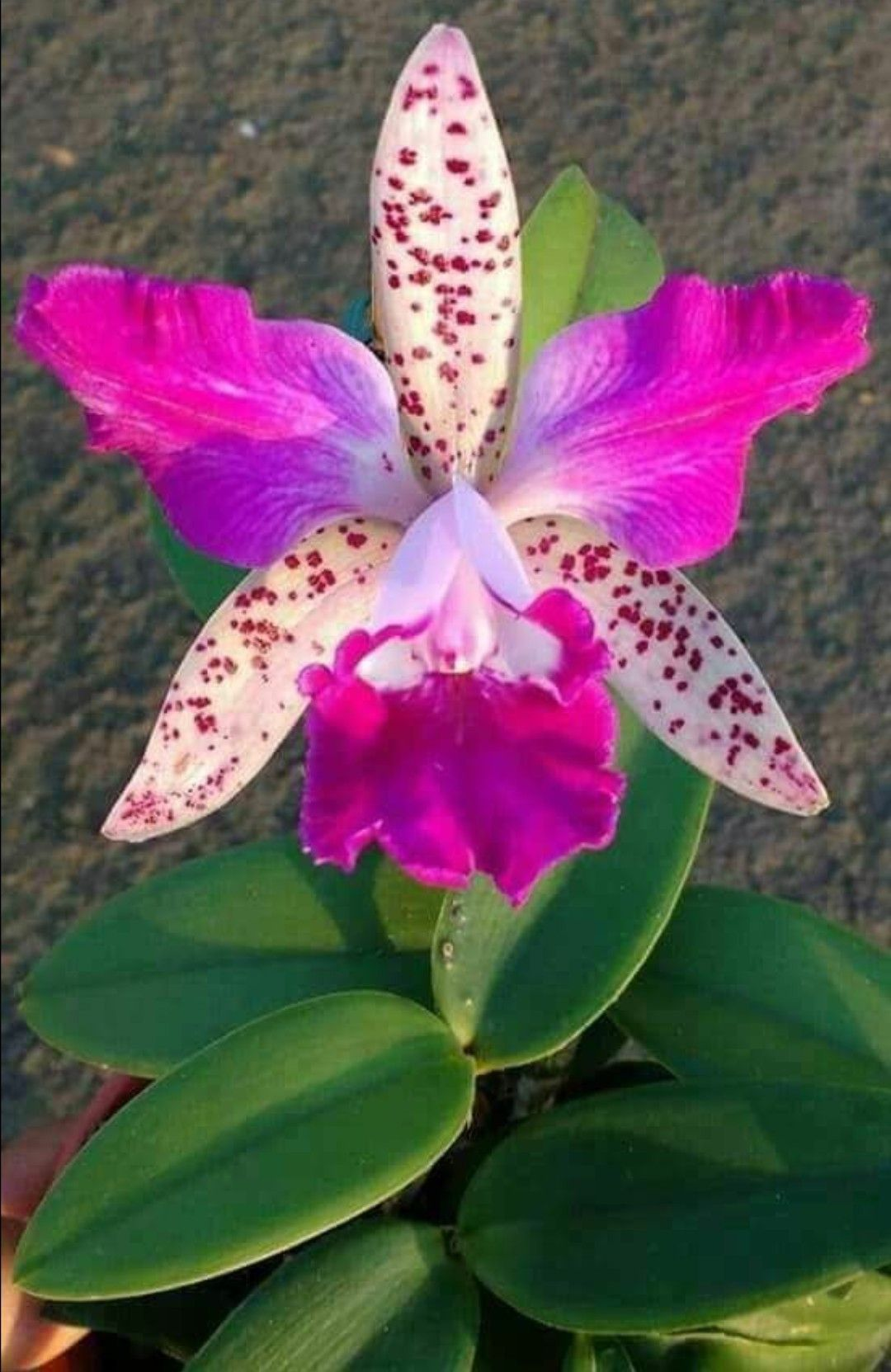 Exoticflowers Beautiful Orchids Unusual Flowers Cattleya Orchid