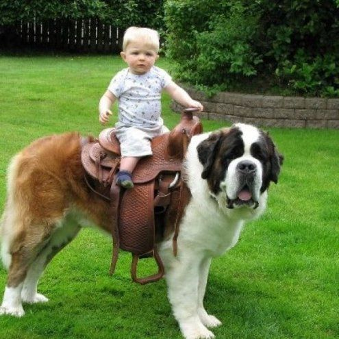 Baby riding on the back of a St Bernard Dog, but thinks he's riding a horse