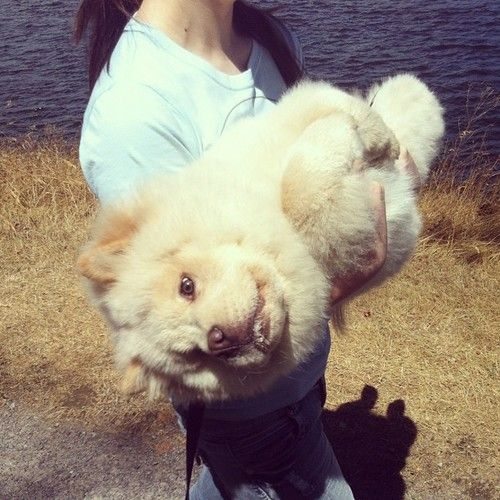 Too Tired To Walk Anymore Chowchow Puppy Taken With Instagram