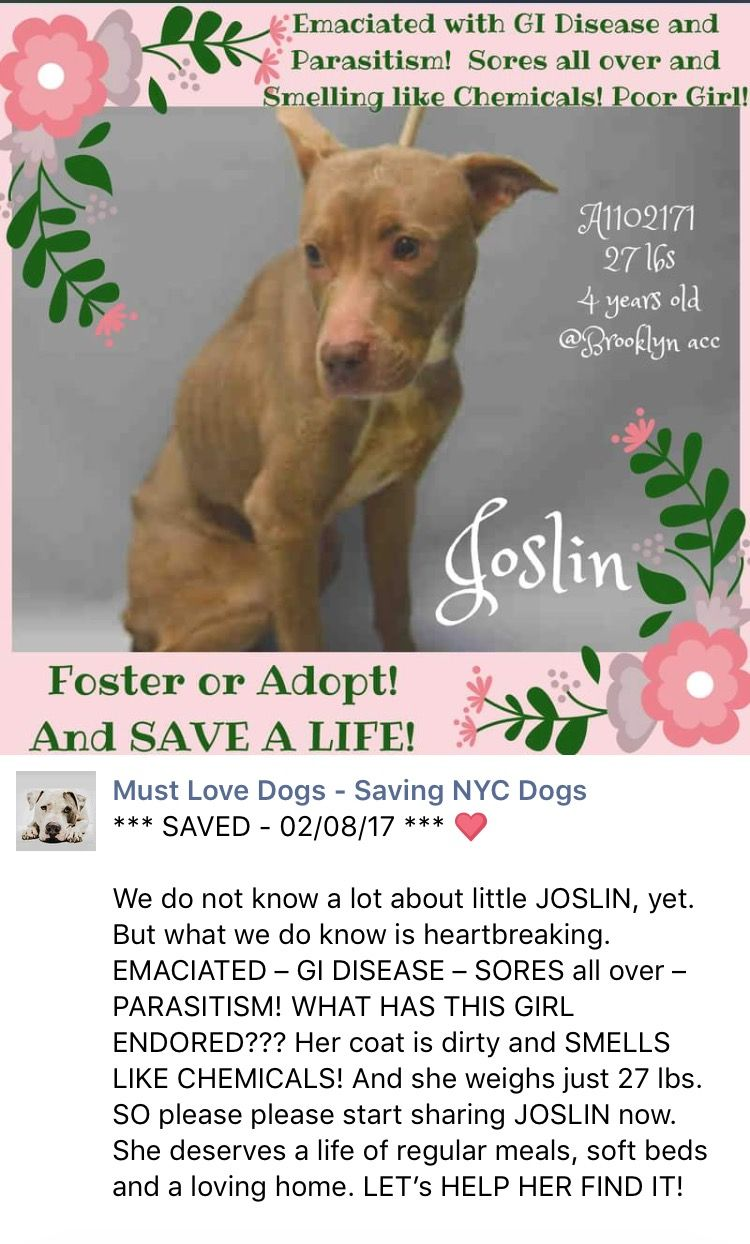 SAFE❤️❤️ 2/8/17 THANKS FOR THE UPDATE MEDIO MARCH URGENT! /ij 3/3/17 THE FORGOTTEN ONES!! UPDATE ON JOSLIN PLEASE URGENT????? Brooklyn Center JOSLIN – A1102171 FEMALE, BROWN / WHITE, AM PIT BULL TER MIX, 4 yrs STRAY – STRAY WAIT, NO HOLD Reason STRAY Intake condition UNSPECIFIE Intake Date 01/25/2017, From NY 11691, DueOut Date 01/28/2017 http://nycdogs.urgentpodr.org/joslin-a1102171/