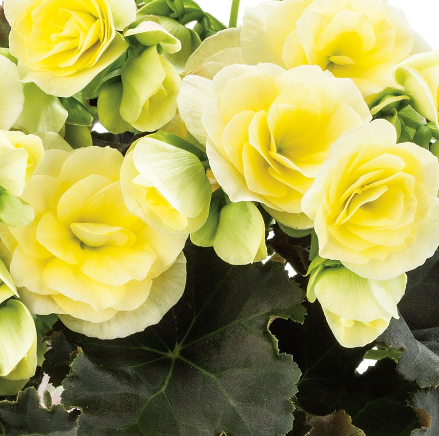 Glory Lemon Rieger Begonia Begonia X Hiemalis Begonia Annual Plants Fall Flowers