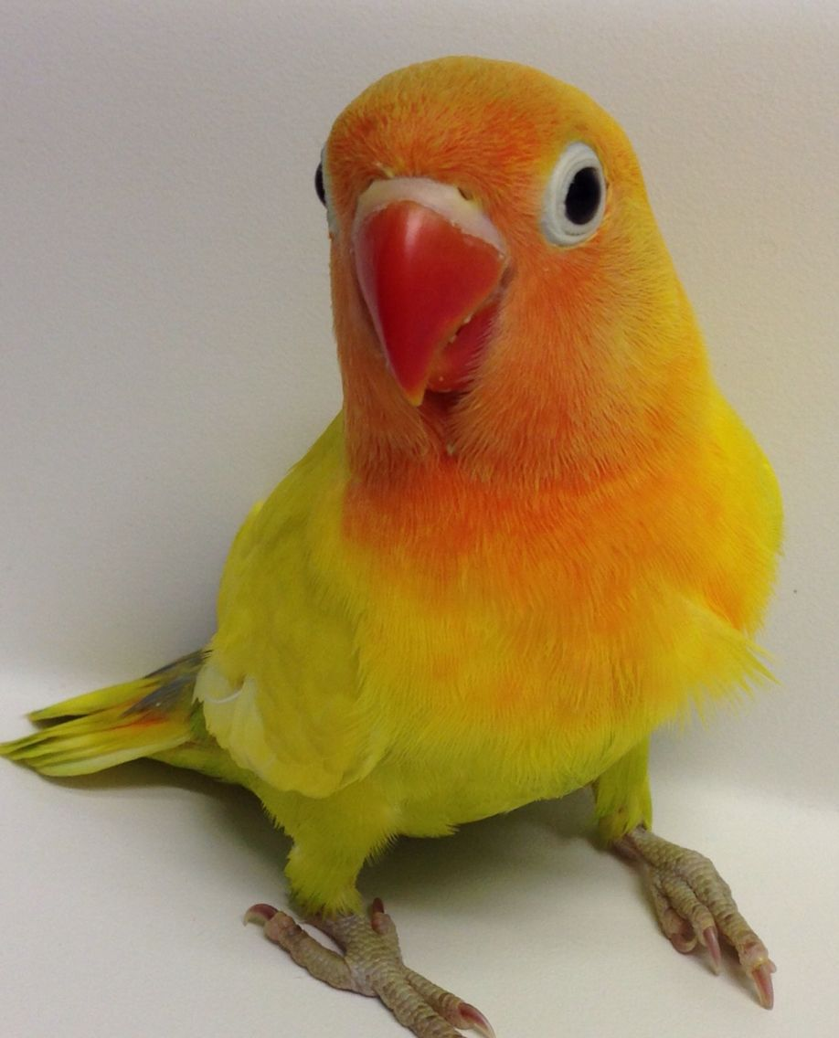 Stunning #yellow #green #dilute #fischer #lovebirds | Our ...