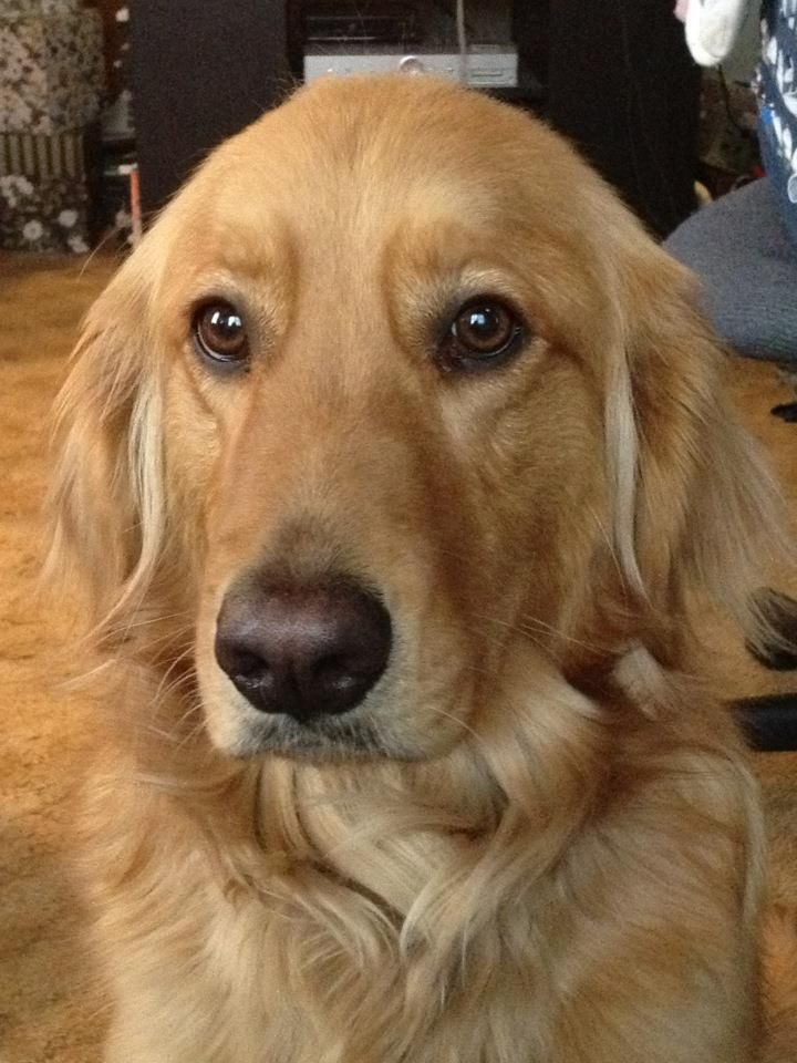 Mi Besito Golden Retrievers Retriever Puppy Dogs Golden