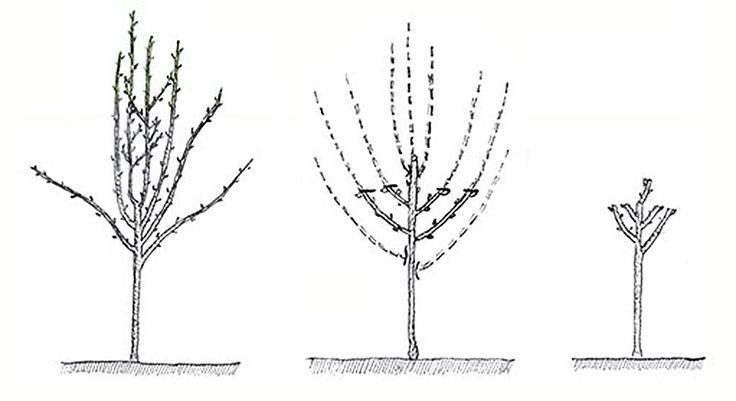 Rez ovocnych stromu