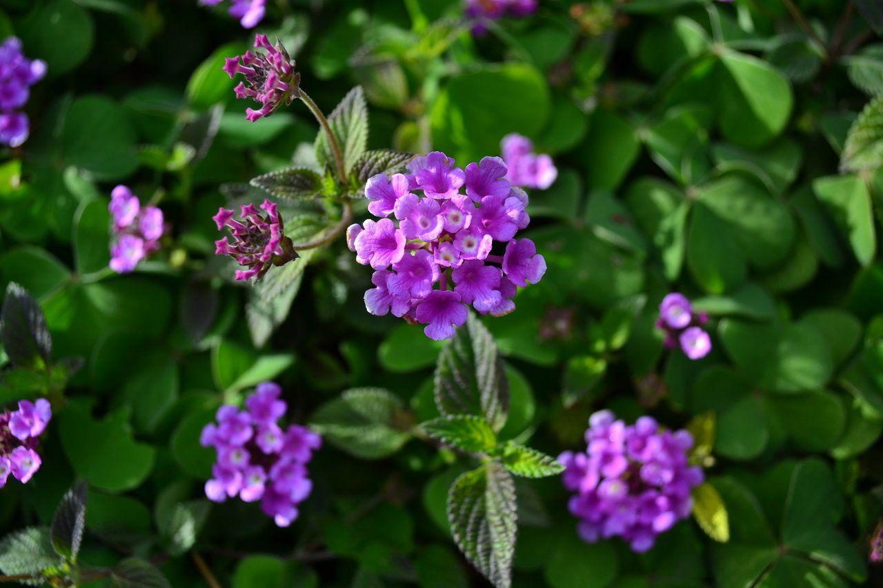 Purple Lantana Lantana Montevidensis By Kiloueka