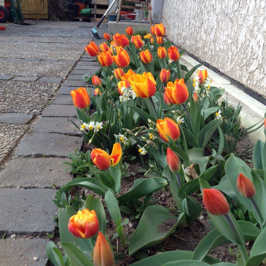Die Mühe war es wieder wert, erste Tulpen Anfang April