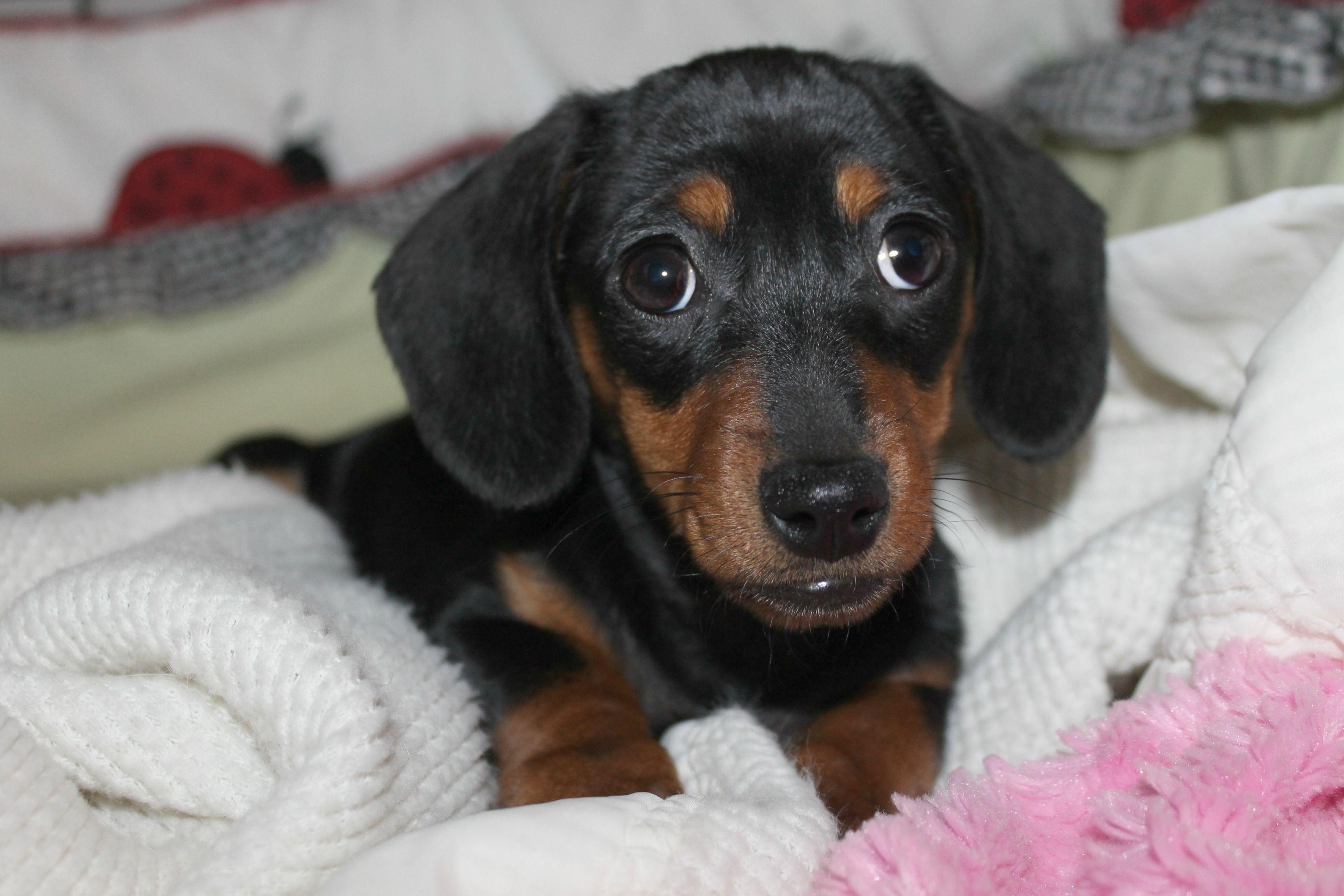 Addie 3months Old Cute Little Underbite Winnie Dogs Weenie