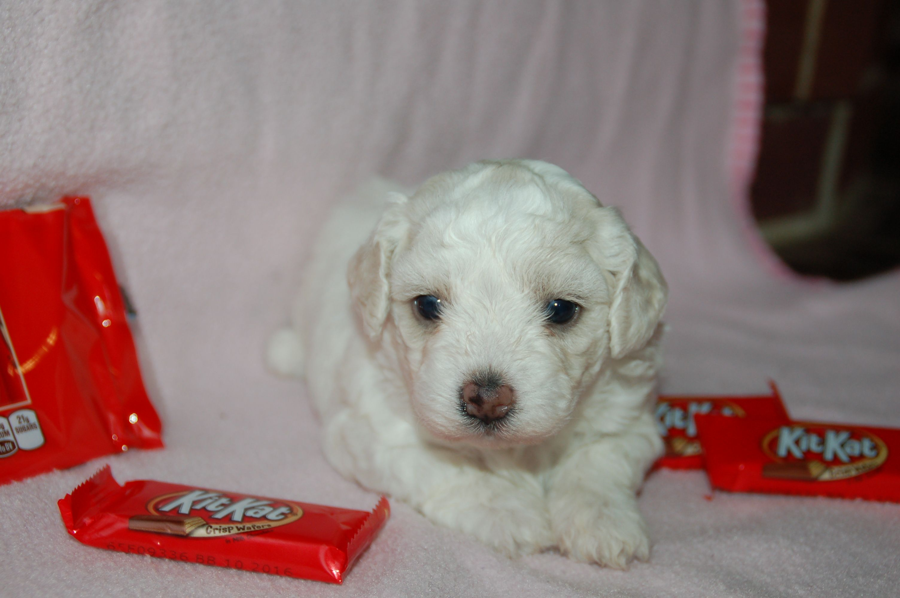 Kit Kat Lives In Nj Puppies For Sale