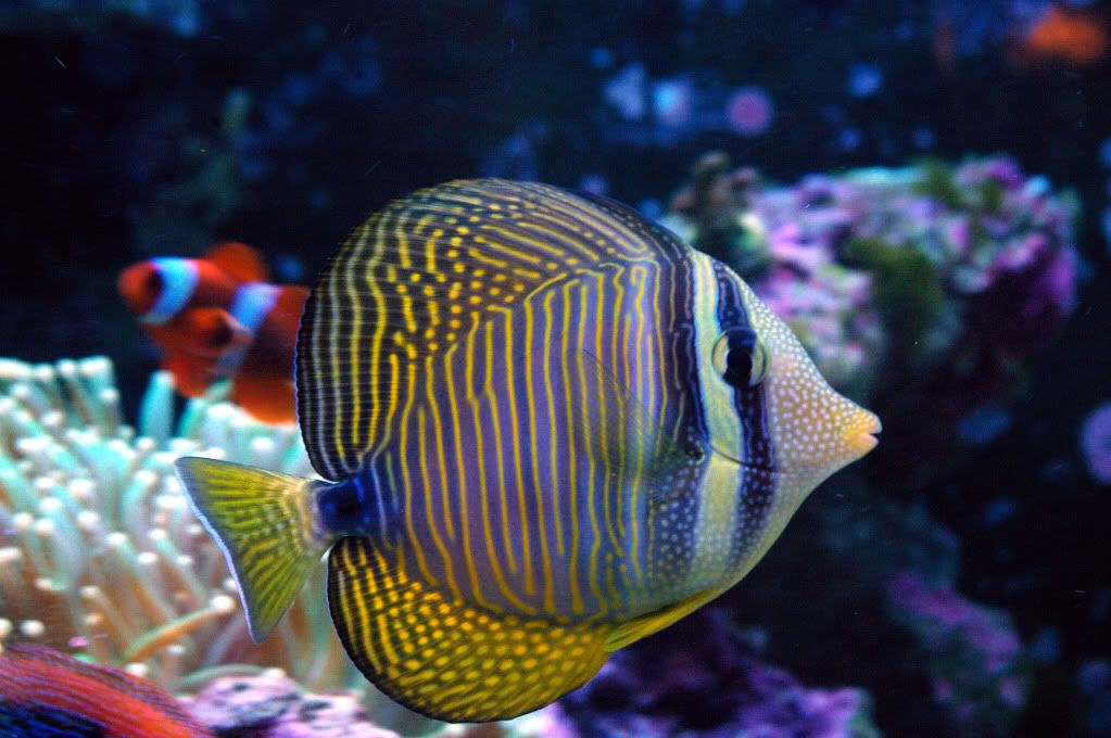 Desjardini Sailfin Tang Price 109 Salt Water Fish Salt Water Fishing Tang Fish