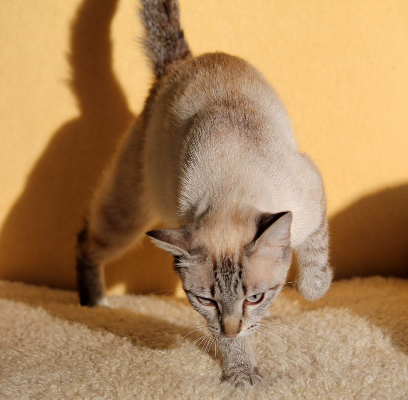 Suki Blue Tabby Mink Tailed Manx Daughter Of Black Pearl