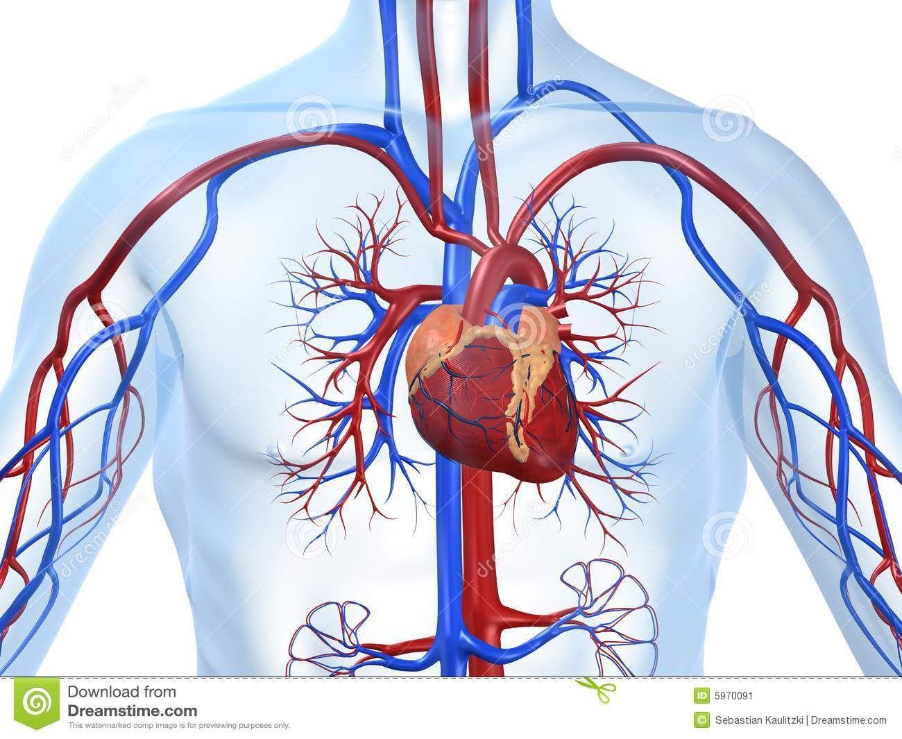 Resultado de imagem para sistema cardiovascular | radiologia ...