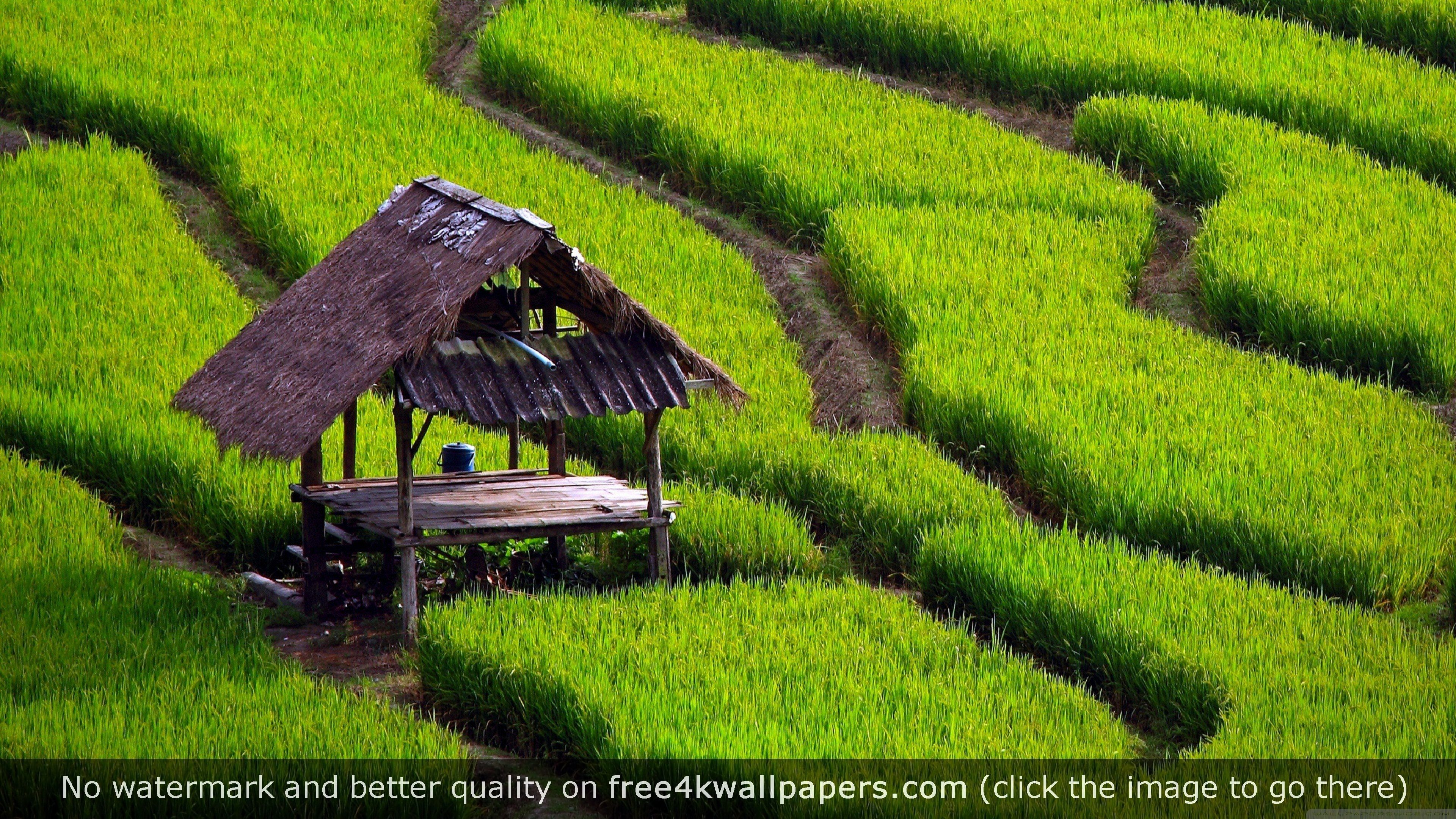 Rice Field Landscape 4k Wallpaper Landscape Wallpaper Scenery Landscape