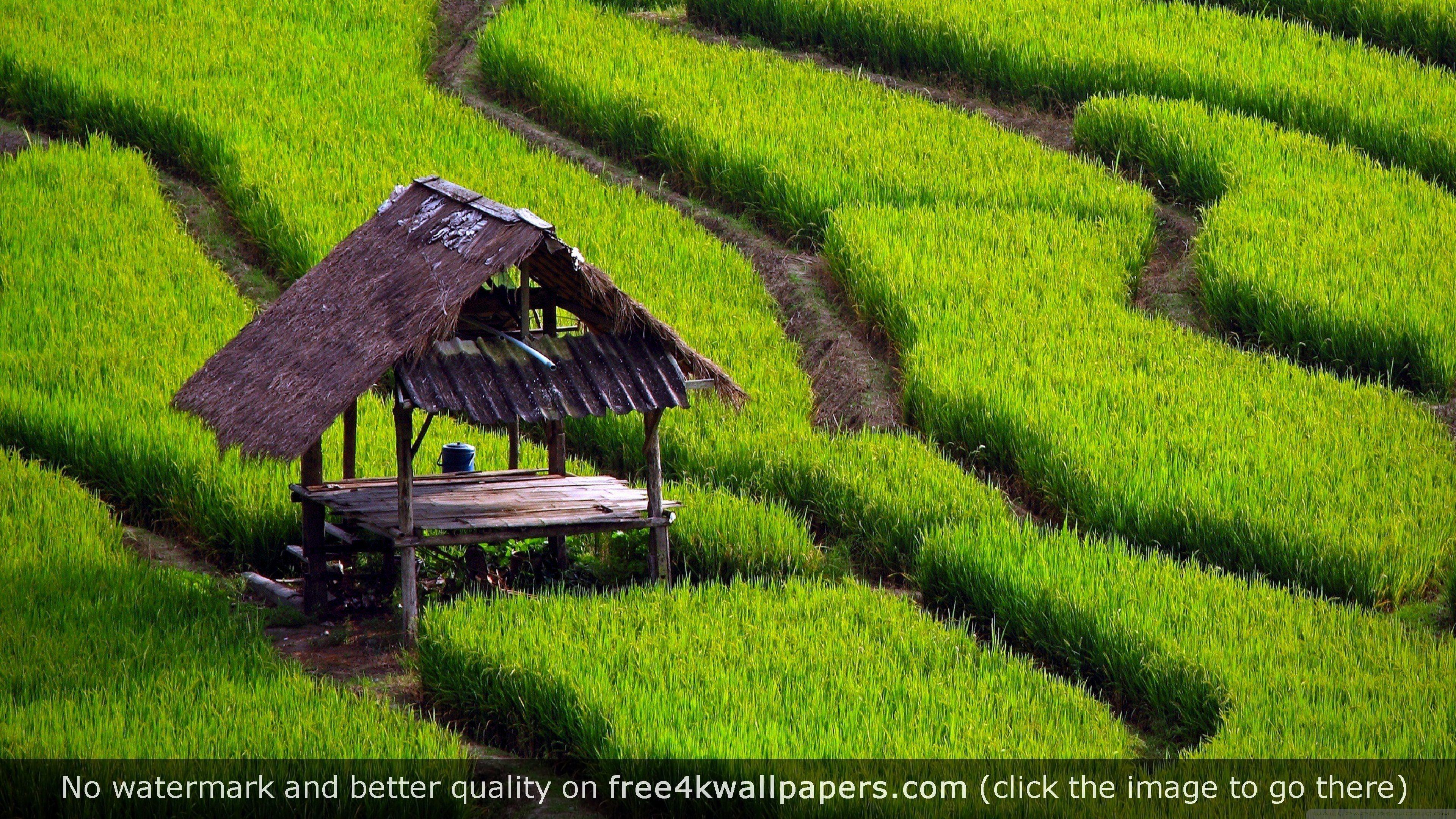 rice field landscape 4k wallpaper desktop wallpapers