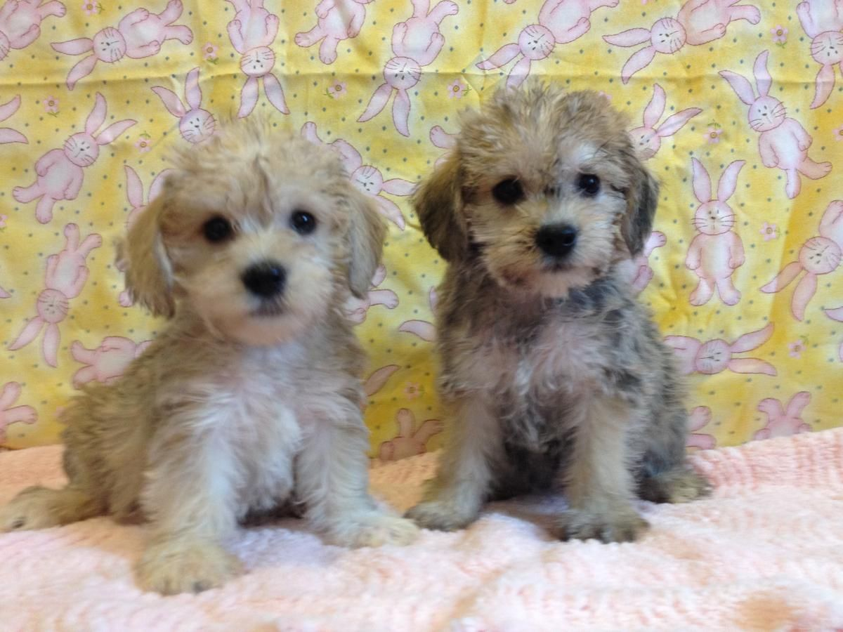 Full Grown Yorkie Poos Full Grown Yorkie Poo Yorkiepoos Puppies