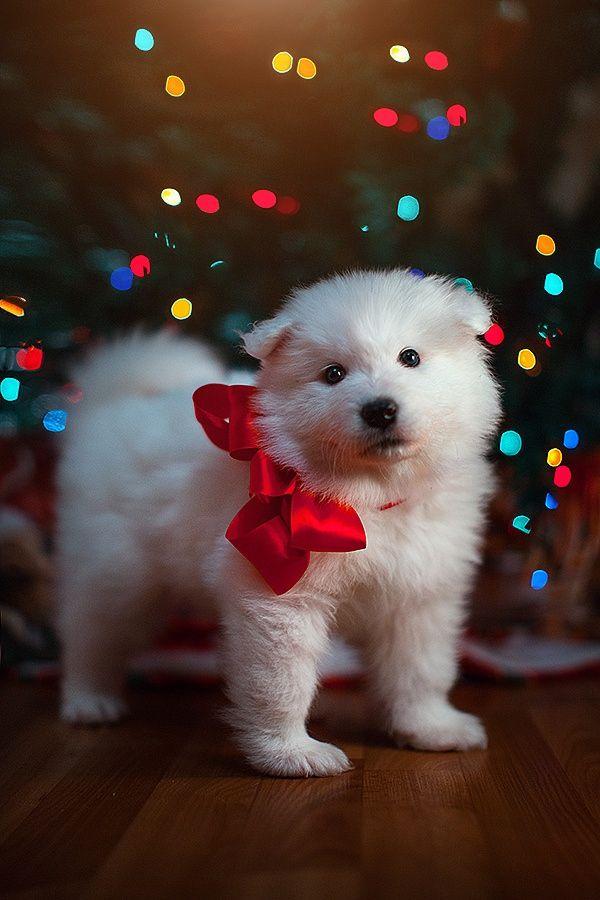 Christmas Pet Pets Dog Cat Holiday Christmaspet Christmaspets Hristmaspetstars Samoyed Puppy Christmas Puppy Christmas Animals