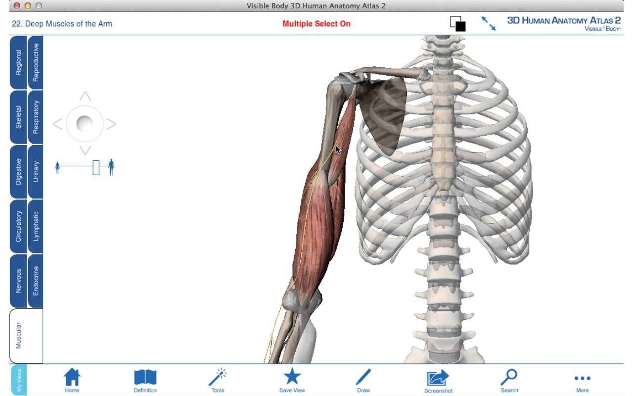 Arm muscles - 3D anatomy tutorial | nasm videos | Pinterest
