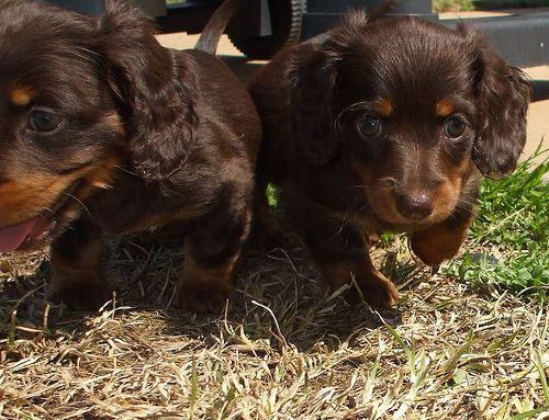 Miniature Dachshund Puppies Dachshund Puppies Baby Dachshund