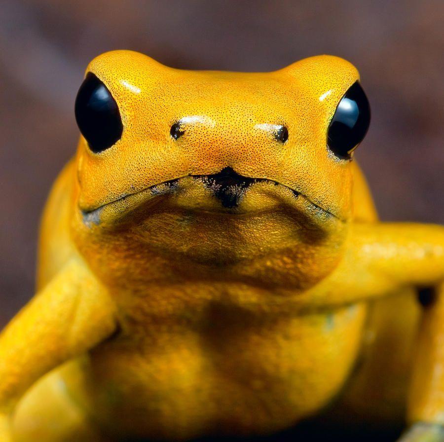 Poison Dart Frog 3 By Dirk Ercken Poison Dart Frogs Poisonous
