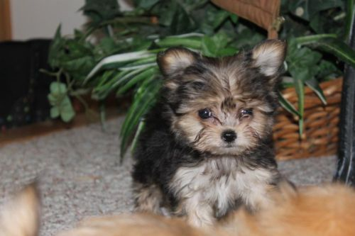 Star A Tiny Yorkie Poodle Maltese Shih Tzu Mix Yorkie Poodle Cute Dogs And Puppies Maltese Shih Tzu