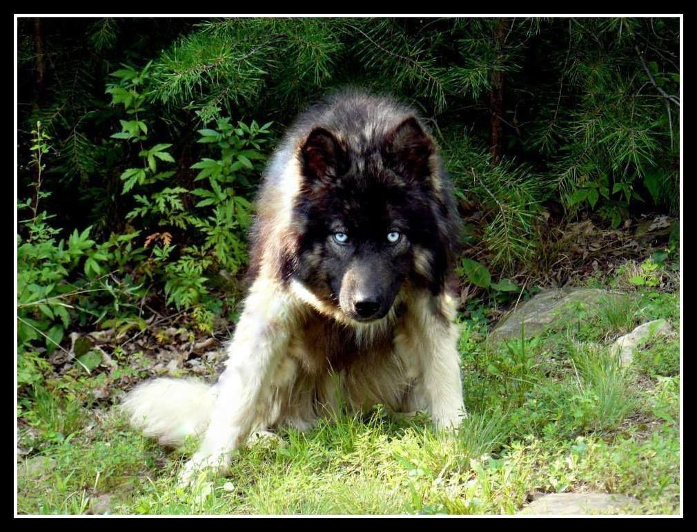 Agouti Siberian Husky Sondergeld Working Siberians Agouti