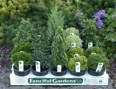 dwarf conifers httpwwwiselinurserycom you will get an error page initially but just click on the home page link to take you to the nursery - Fairy Garden Plants