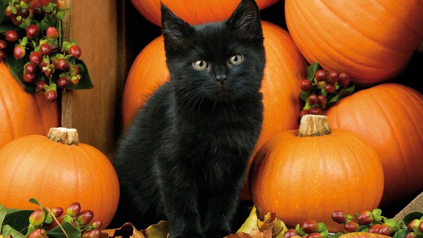 Kitten Autumn Fall Black Halloween Pumpkins Cat Leaves Berries Wallpapers Beautiful Black Cat Halloween Fall Cats Black Kitten